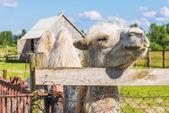 Wielbłąd dwugarbny — Zdjęcie stockowe