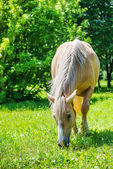 Piebald horse grazing — Stock Photo