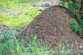 Big ant hill — Stock Photo