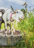White goat eating grass — Stok fotoğraf