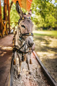 Donkey in harness — Stock Photo