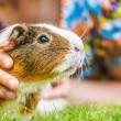 Little girl petting guinea pig — Stock Photo #51489237