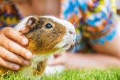 Little girl petting guinea pig — Stock Photo