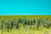 Helianthus (sunflower) — Stock Photo