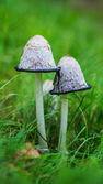 Coprinus is small genus of mushrooms — Stock Photo