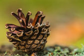 Old pine cone — Stock Photo