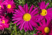 Crimson flower in a garden — Foto Stock