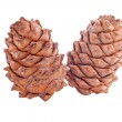 Cedar cones — Stock Photo #32445551
