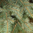 Fir tree branch — Photo