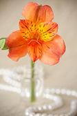 Flor de alstroemeria — Foto Stock