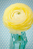 Yellow Ranunculus — Stock Photo