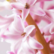 Pink hyacinth — Stock Photo