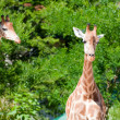 Family of giraffes on nature background — Stock Photo