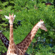 Stock Photo: Family of giraffes on nature background