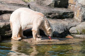 Polar bear eat meat — Foto de Stock