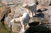Polar bears at the Zoological Garden — Stock Photo