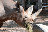 Rhino in Zoological Garden — Stock Photo