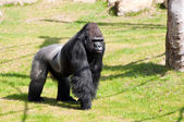 Gorilla in Zoological Garden — Stock Photo