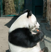 Panda in Zoological Garden — Stock Photo
