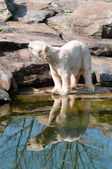 Polar bear at the Zoological Garden — Foto de Stock