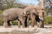 Elephants in Zoological Garden — Stock Photo