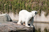 Polar bear at the Zoological Garden — Stock Photo