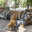 Royalty-Free Stock Photo: Sleeping young tiger