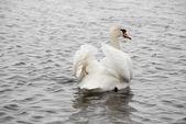 Swan — Stok fotoğraf