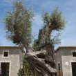 Old olive tree — Stock Photo #29275269