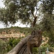 Old olive tree — Stock Photo #32239971