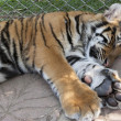 Sleeping young tiger — Stock Photo