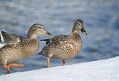 Mallard ducks — Stock Photo