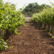 Green Vineyard — Stock Photo