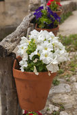 Petunia hanging cache-pot — Stock Photo