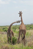 Giraffe couple. Amboseli, Kenya. — Stock Photo