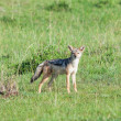 Black-backed Jackal — Stock Photo #40630265