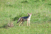Nero-backed jackal — Foto Stock