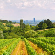Stock Photo: Viennese wine yard