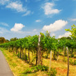 Stock Photo: Vineyards in Vienna