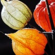 Orange, green and yellow flowers of Physalis against black backg — Stock Photo