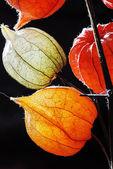 黒の背景に隠れてに対してホオズキのオレンジ、緑と黄色の花 — Stock fotografie