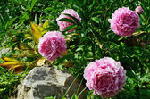 Four blooming peony in the garden — Stock Photo