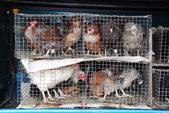 Chickens and roosters in a cage — Stock Photo