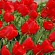 Stock Photo: Field with red tulips