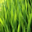Close-up of lush green grass — Stock Photo