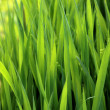 Close-up of lush green grass — Stock Photo #29805699