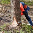 Stock Photo: Woodcutter is cutting down tree