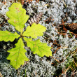 Five young leaves of the oak — Stock Photo #30513999