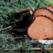 Felled pine tree in the forest — Stock Photo