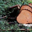 Stock Photo: Felled pine tree in the forest